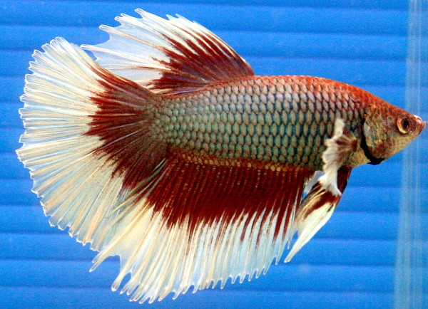 This stunning male betta was probably bred and raised in a small container by the breeder