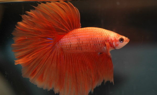 Male and female bettas can come in the same colors