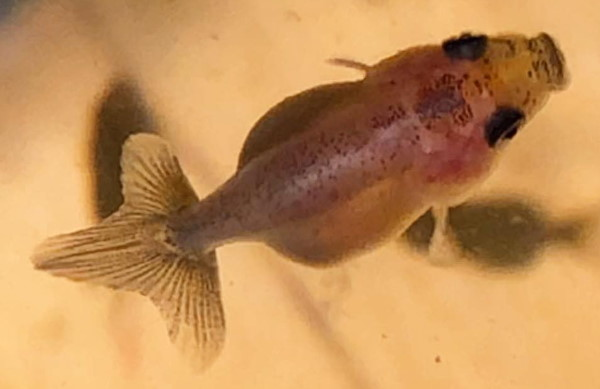 Baby ranchu goldfish before its colored up
