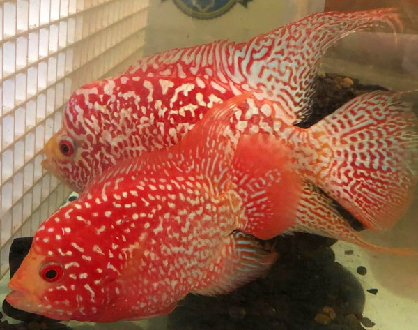fireman's dream flowerhorn cichlid can be mistaken for a red texas cichlid