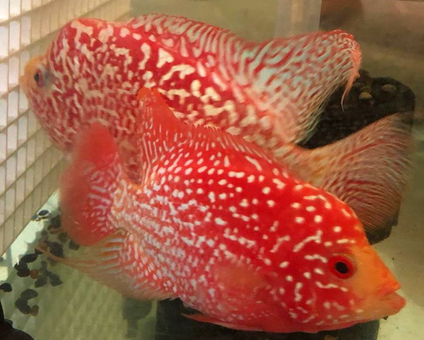Amazing red coloration on Wuddy's fireman's dream flowerhorn cichlids