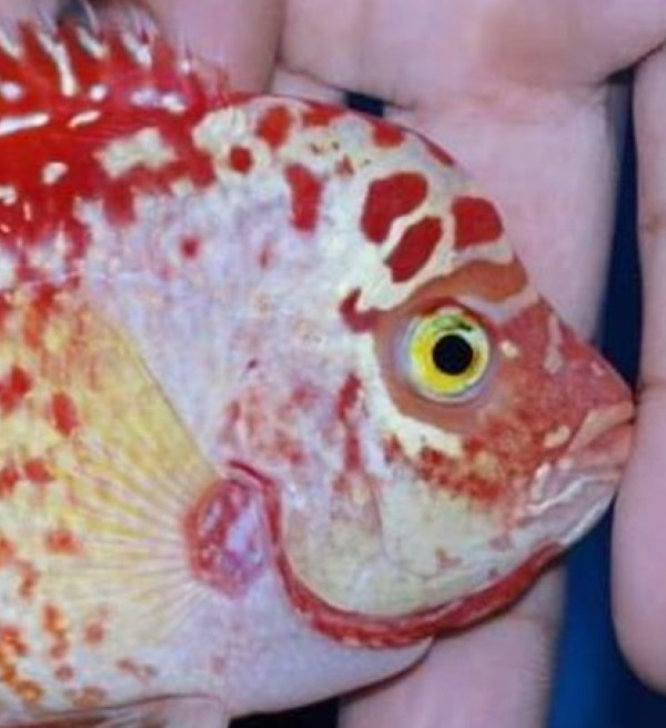 red texas cichlids have yellow eyes, whereas golden base fader flowerhorns have red eyes