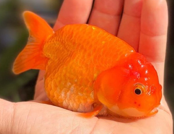 fancy goldfish are bad tank mates for oscars