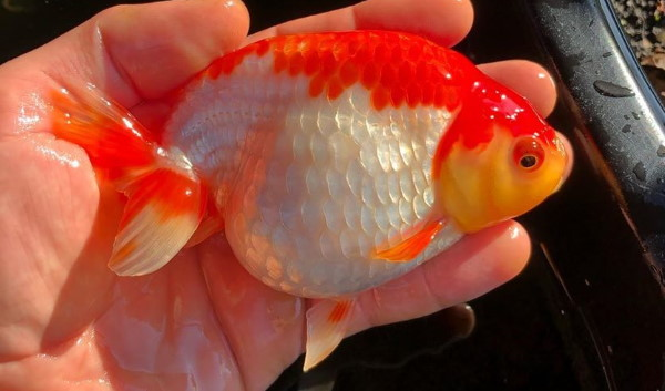 Red and white ranchu goldfish