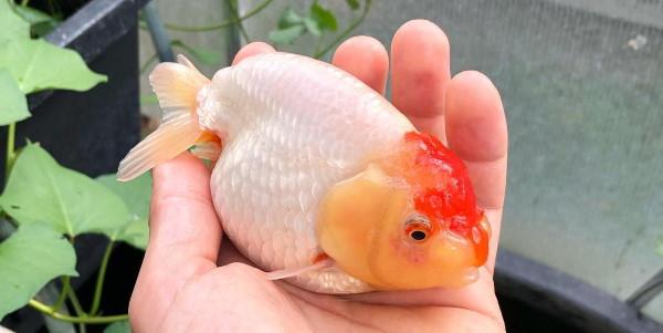 Tancho ranchu goldfish