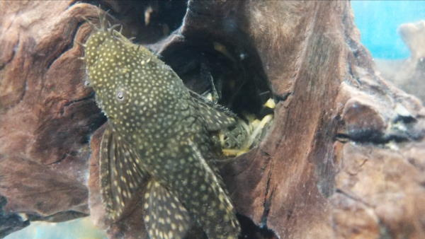 plecos and chinese algae eaters both have sucker mouths which is an example of convergent evolution