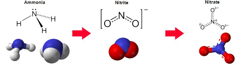 ammonia to nitrite to nitrate aquarium filtration process