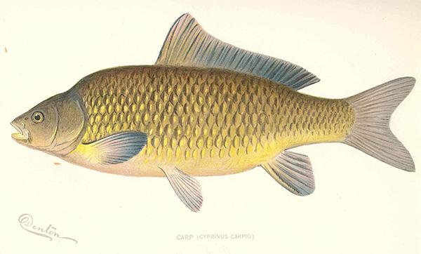 carp illustration by Freshwater and Marine Image Bank by the University of Washington