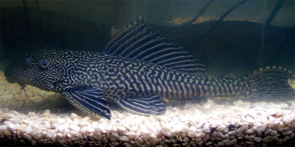 common pleco, Pterygoplichthys pardalis