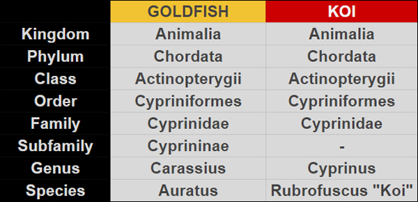koi vs goldfish scientific classification