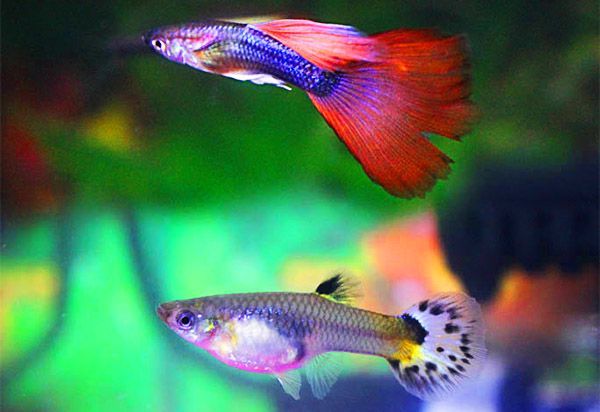 guppies die so fast because they are often raised in brackish water