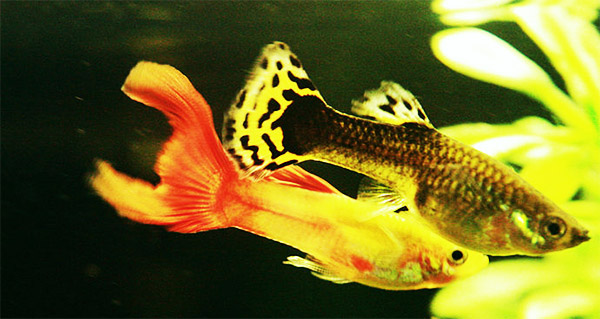 colorful guppies