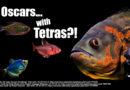 Oscars With Tetras As Tank Mates