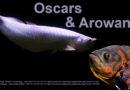 Oscars With Arowana Tank Mates