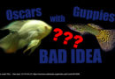Keeping Oscars With Guppies: A Bad Idea!