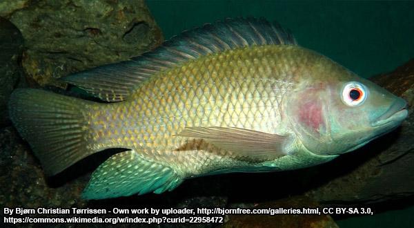 tilapia food fish