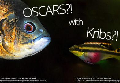 Oscars And Kribs Tank Mates